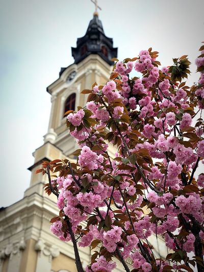 Low angle view of pink flowering tree by building against sky