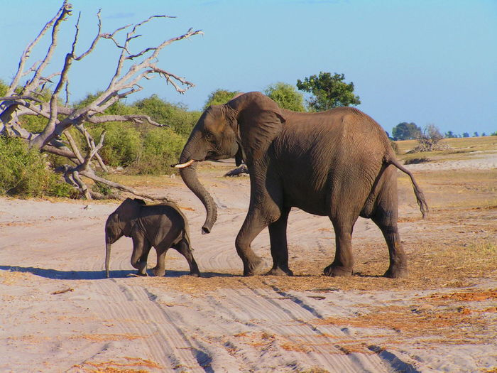 Elephant Walking With Calf On Ground Against Sky