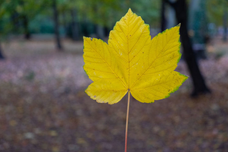 Close-up of yellow maple leaf on field