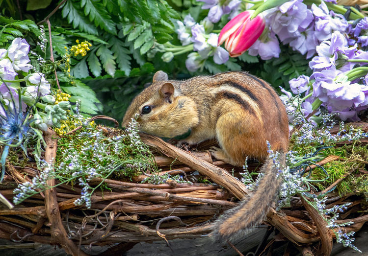 Small rodent checks out a colorful basket of blooms in a springtime garden
