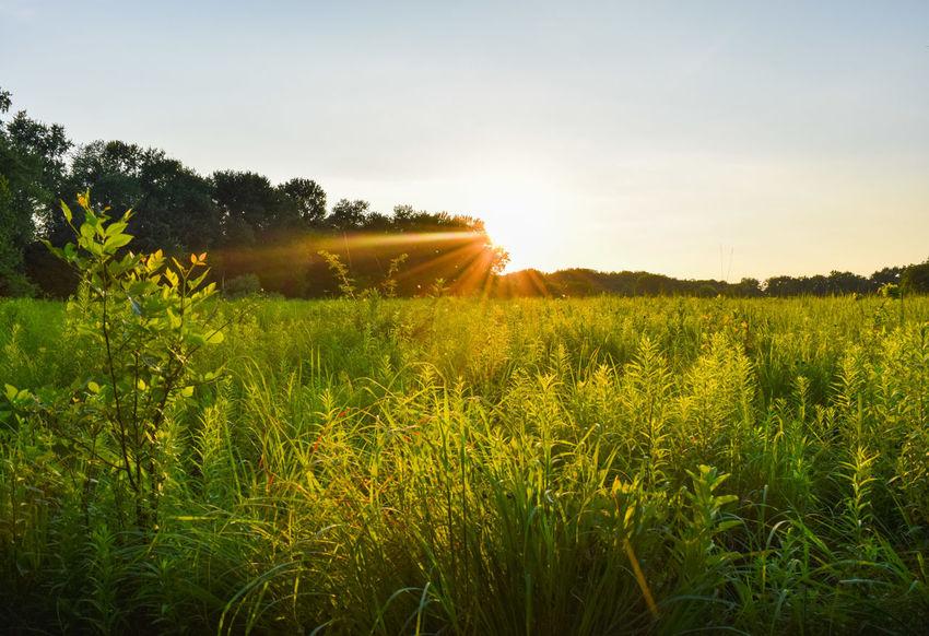 Sunset Green Field Explore Play Hiking Adventure Sunlight Grass Wisp Springfield Illinois Illinois Light Alone Trees Sun Sunlight Through Trees Sunlight