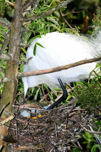 Nesting Waterbirds Florida Nature Florida Birds Nesting Birds Florida Wildlife Close Up Nature Egret Nest With Eggs