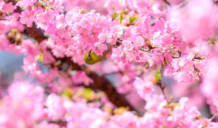 Flower Flowering Plant Plant Pink Color Beauty In Nature Freshness Fragility Vulnerability  Growth Springtime Blossom Nature Close-up Flower Head Tree Petal Inflorescence Cherry Blossom Selective Focus Outdoors Cherry Tree Softness Japan Sakura Bird