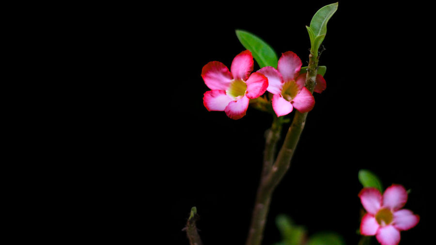 Beauty In Nature Black Background Close-up Copy Space Flower Flower Head Flowering Plant Fragility Freshness Growth Inflorescence Leaf Nature No People Outdoors Petal Pink Color Plant Plant Part Studio Shot Vulnerability
