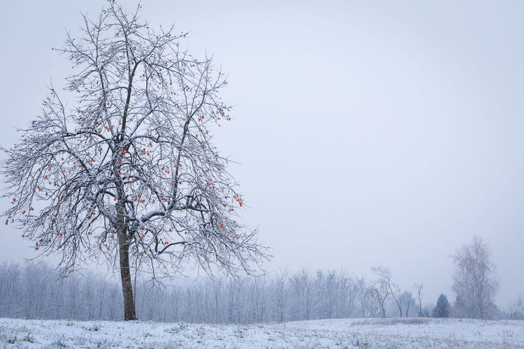 light snowfall on the Montello in January 2019 Canon 6d Cold Temperature Winter Snow Tree Beauty In Nature Tranquility Land Plant Landscape White Color No People Outdoors Sky Frozen Cold Tranquil Scene Persimmon Tree Orange - Fruit