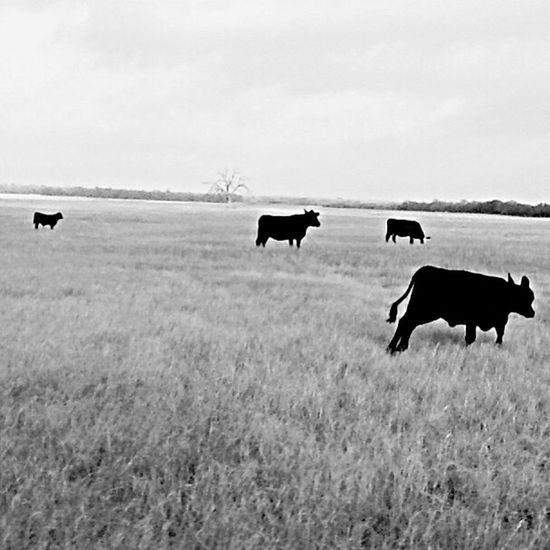 Ranch Life Ranch Land Cattle Black Cows Bwphoto Bwphotography Bwporn Bwsimple Blackandwhite Black & White Blackandwhite Photography Black&white Black And White Photography Black And White Collection  Simplicity Simple Beauty Simplemoments Enjoying Life CountryLivinG Countryside Texascountry Easyliving Vegetarian