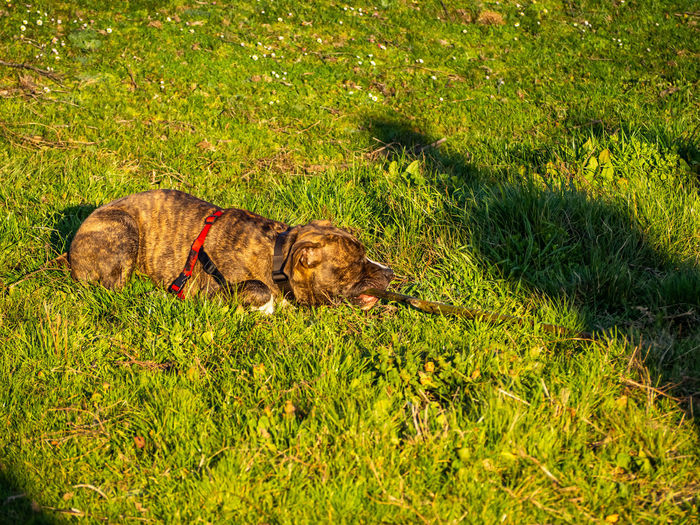 View of dog relaxing on field
