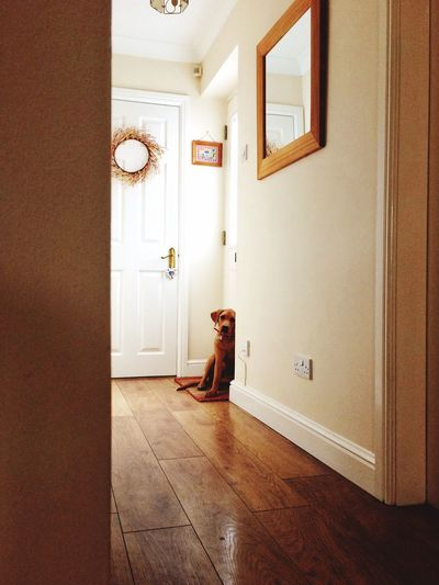 EyeEm Selects A shy Labrador puppy sitting at the front door of a house and waiting to go outside for a walk Door Indoors  Hardwood Floor Home Interior Dog Labrador Labrador Retriever Puppy Shy Waiting Interior Inside Dog Walking Waiting Patiently Contemporary Modern Home Dogs Obedient Obedient Dog Abandoned Left Behind Home Alone Pet Portraits