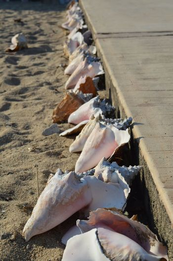 Conch Shells At Sandy Beach On Sunny Day
