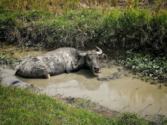 Chance Encounters Carabao Outdoors Mudbath Agriculture Animals In The Wild Nature