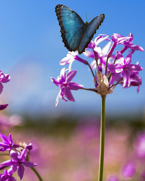Animal Animal Themes Animal Wildlife Animal Wing Animals In The Wild Beauty In Nature Butterfly - Insect Close-up Flower Flower Head Flowering Plant Focus On Foreground Fragility Freshness Growth Insect No People One Animal Outdoors Petal Pink Color Plant Pollination Purple Vulnerability