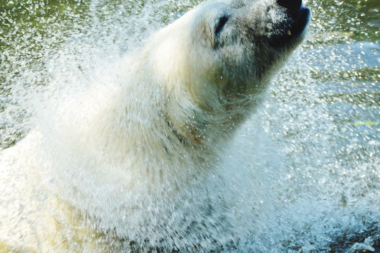Polar bear Mammal Polar Bear Animals In The Wild Water Animal Wildlife Nature
