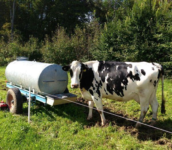 Portrait of cow in pasture