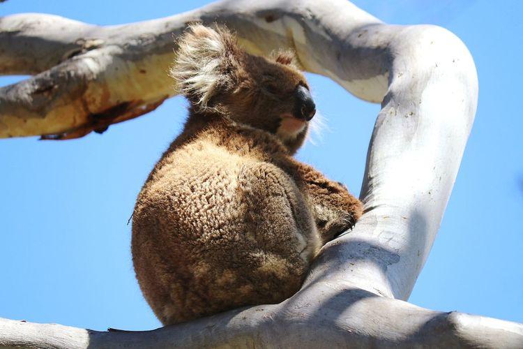 Animal Love Australia Day Cute Koala EyeEm Selects Sport Sky Close-up