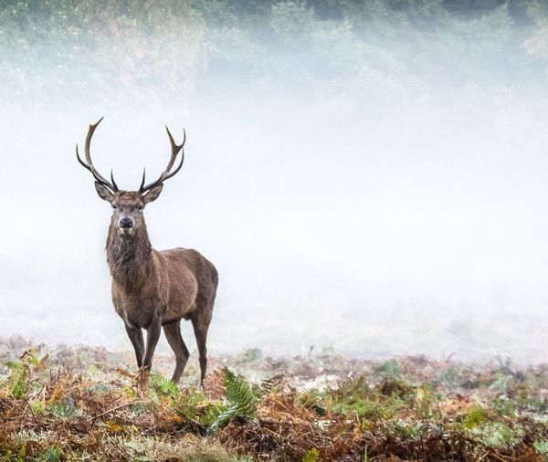 Elk against foggy weather in forest