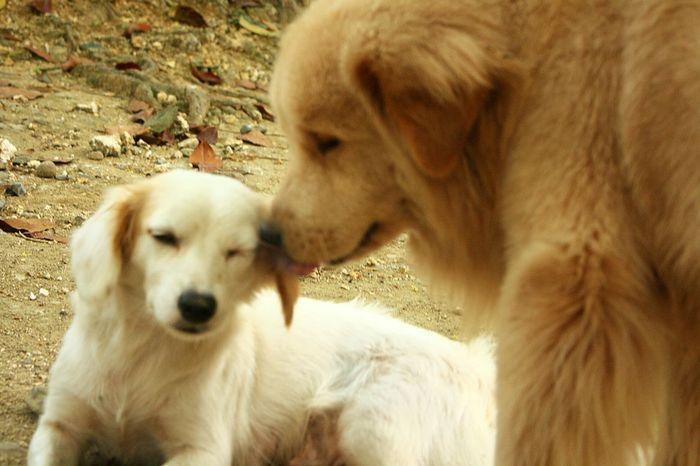 Japanesespitz Chowchowmix🐶 Pets Dog Togetherness Golden Retriever Beagle Close-up Hairy  Purebred Dog Animal Hair