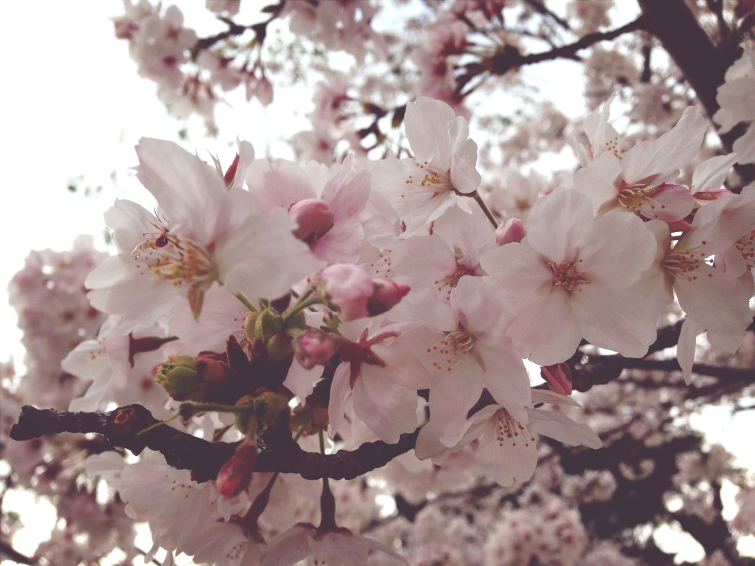 flower, freshness, branch, fragility, cherry blossom, tree, growth, beauty in nature, pink color, cherry tree, blossom, petal, nature, fruit tree, low angle view, in bloom, springtime, close-up, twig, blooming