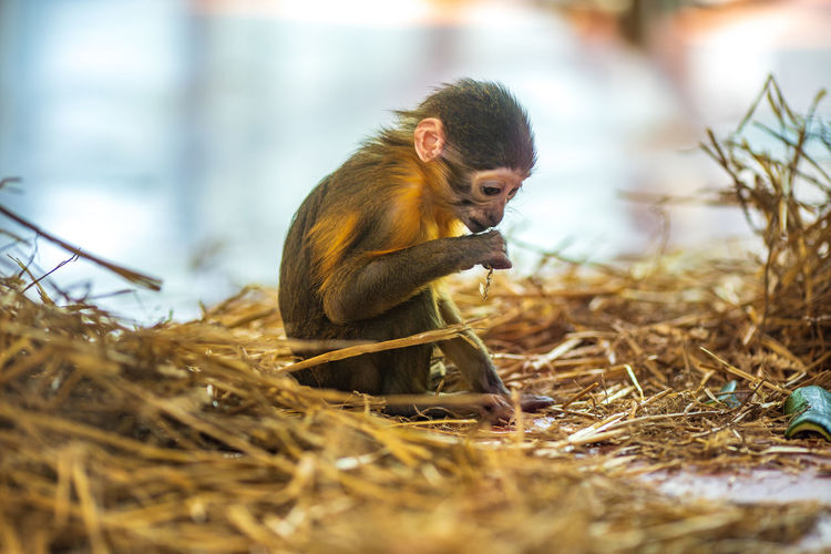 Primate Animal Wildlife One Animal Animals In The Wild Mammal Vertebrate Nature Selective Focus Sitting Day Plant No People Zoology Outdoors Land Side View Care Monkey Monkeys Eating Eat Straw Chimpanzee