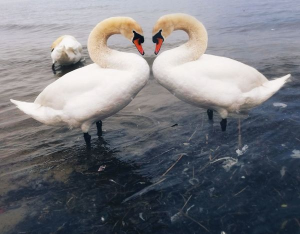 love Swan Bird Water Swimming Lake Care Young Animal Dedication Affectionate Togetherness Mute Swan Swimming Animal Wild Animal Water Bird
