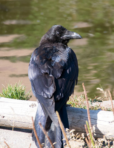 portrait of a large black Raven perched on a log in Yellowstone Montana Animal Wildlife Beautiful Day Nature Active Vacation Bird Birdwatching Birding Raven Black Wings Smart Thieves Scavenger Halloween Raptors Gothic Hunter