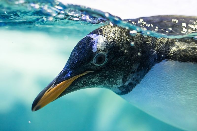 Close-up of penguin swimming in water