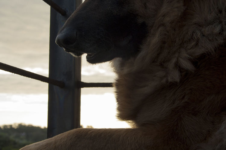 Where fur and afternoon sunlight meet. Afternoon Alsation Animal Themes Close-up Day Dog Dogs Dogs Of EyeEm Dogslife German Shepherd Golden Golden Hour Mammal Nature No People One Animal Outdoors Sky Sunlight