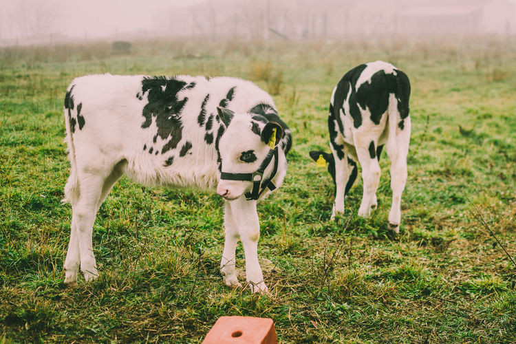 Animal Themes Grass Animal Field Mammal Land Vertebrate Domestic Animals Plant Livestock Domestic Group Of Animals Cow Pets Cattle Nature Grazing Day No People Focus On Foreground Outdoors Herbivorous Sanctuary