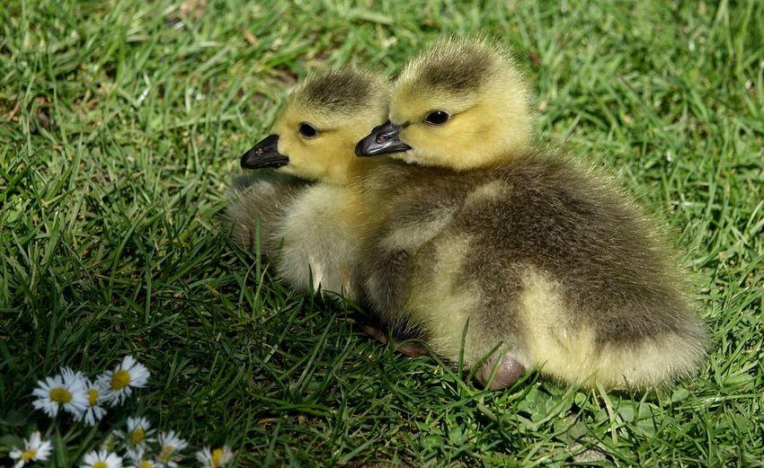 View of ducklings on field