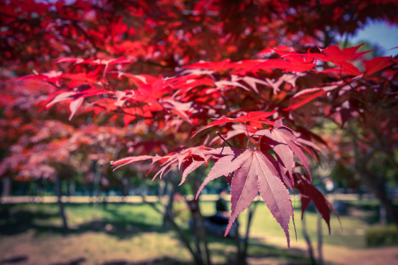 Autumn EyeEm Best Shots EyeEmNewHere EyeEm Nature Lover EyeEm Selects EyeEm Gallery Eye4photography  EyeEm Tree Leaf Autumn Red Maple Leaf Change Close-up Maple In Bloom Maple Tree Autumn Collection Leaves Plant Life