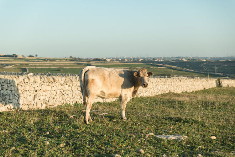 Full length side view of cow standing on field against sky