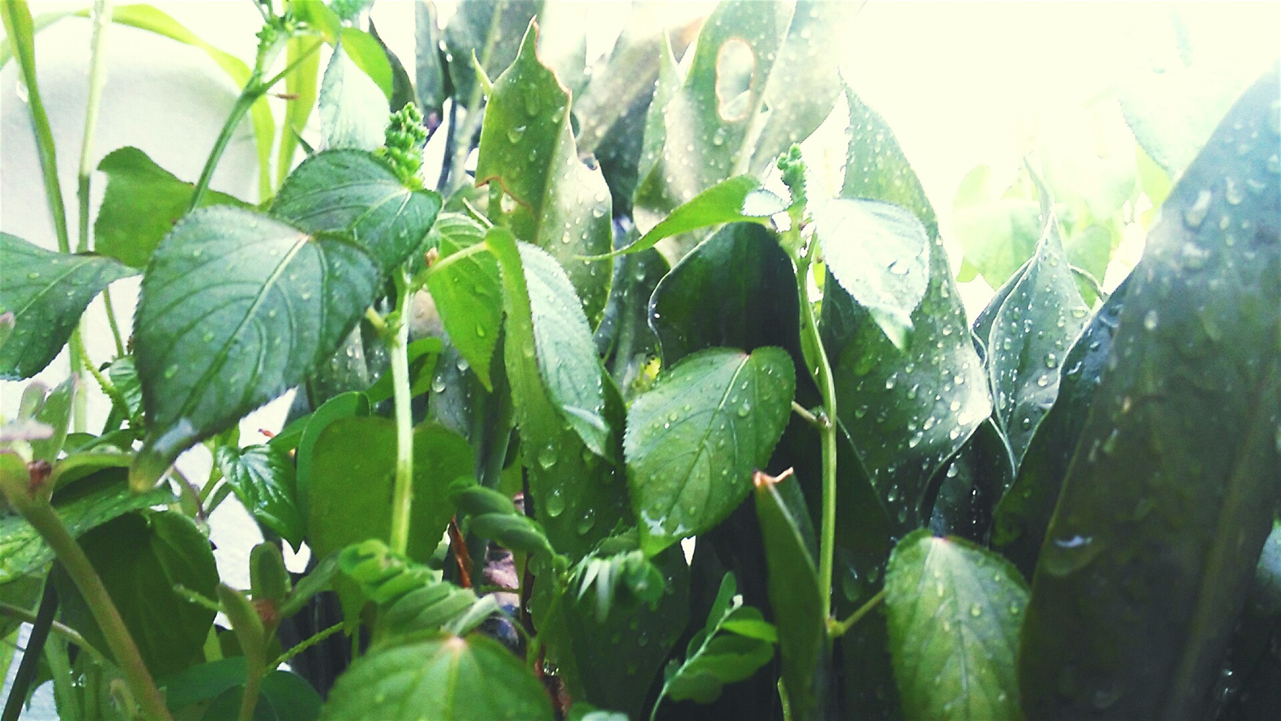 drop, leaf, wet, green color, plant, close-up, water, dew, green, selective focus, growth, nature, freshness, botany, beauty in nature, day, outdoors, sky, blade of grass, vibrant color