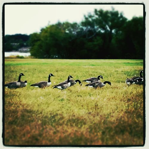 Country Geese. EyeEm Nature Lover Nature_collection EyeEm Birds Naturelovers