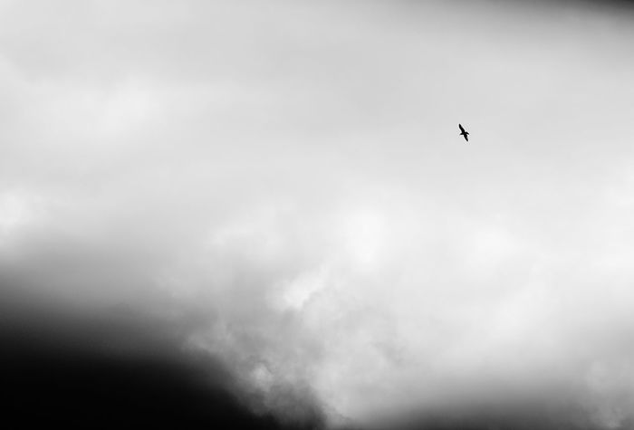 Bird Animals In The Wild Animal Themes Flying One Animal Low Angle View Animal Wildlife Sky Wildlife Mid-air Spread Wings Nature Cloud - Sky Outdoors No People Day Beauty In Nature Bird Of Prey Black And White Collection  Monochrome Photography Black And White Photography Beauty In Nature