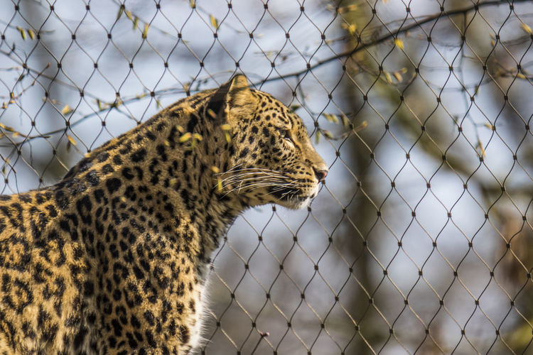 Leopard in cage on sunny day