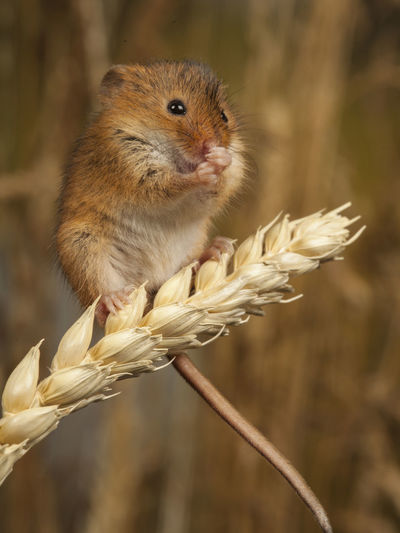 Close-up of rat on dried plant