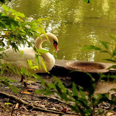 Swan....