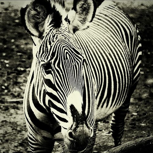 Zebra Check This Out