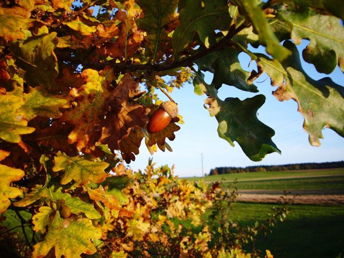 Herbsttag Tree Leaf Fruit Agriculture Growth Outdoors Branch Day No Peoplebststimmung] eopleNatureeHanginggPlanttRural SceneeAutumnnHealthy EatinggBeauty In NatureeFreshnesssFooddSkyyClose-uppHerbst 🍂
