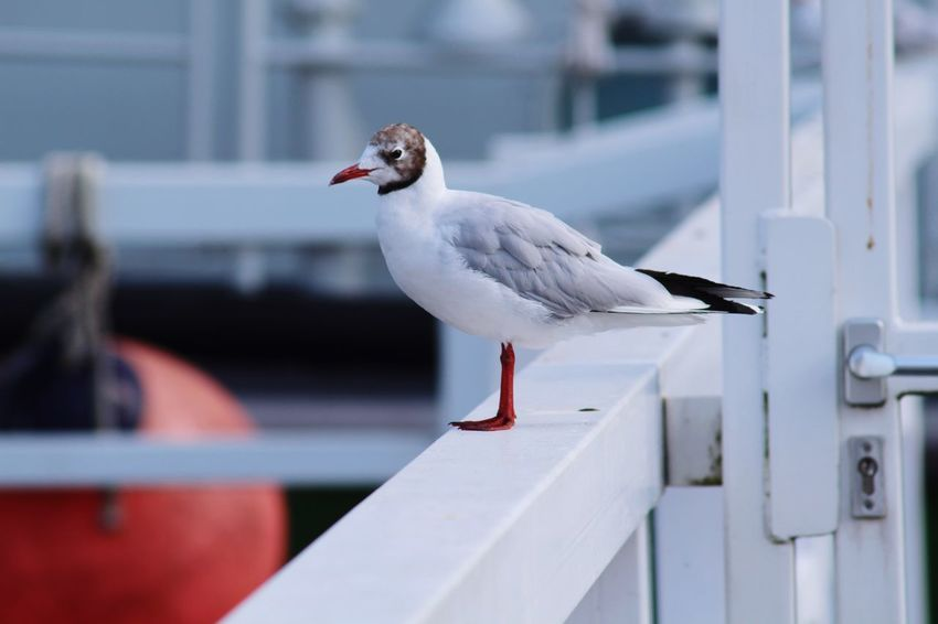Seagull Bird Animal Themes Animal Vertebrate Animals In The Wild Animal Wildlife One Animal Perching Seagull Railing No People Day White Color Focus On Foreground Close-up Side View Nature Outdoors Architecture Mouth Open