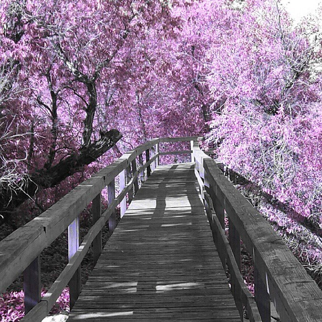 tree, cherry blossom, blossom, flower, cherry tree, beauty in nature, pink color, springtime, nature, railing, branch, fragility, outdoors, no people, scenics, growth, the way forward, footbridge, tranquil scene, day, freshness, walkway, sky