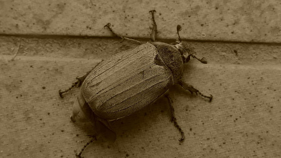 The big beetle Insect One Animal Animal Themes Animals In The Wild Animal Wildlife Outdoors Photography Themes Panasonic DMC FZ1000 Nature Photography Beetle Insect Nature Beetle CollectionMacro Insect  Insect Photography Macro Insect_perfection Macro Photography Macro_collection Insect Photography Macro Insect  Blackandwhitephotography