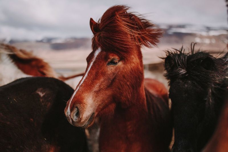 Horse in iceland Iceland Memories Iceland_collection Icelandic Horse Mammal Domestic Domestic Animals Pets Animal Themes Animal Wildlife Horse Livestock Group Of Animals Brown Nature Cloud - Sky Two Animals No People Animal Head  Sky Focus On Foreground Vertebrate Close-up
