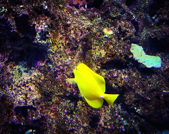 Yellow under the water Underwater UnderSea Fish Coral Animals In The Wild Beauty In Nature Paint The Town Yellow