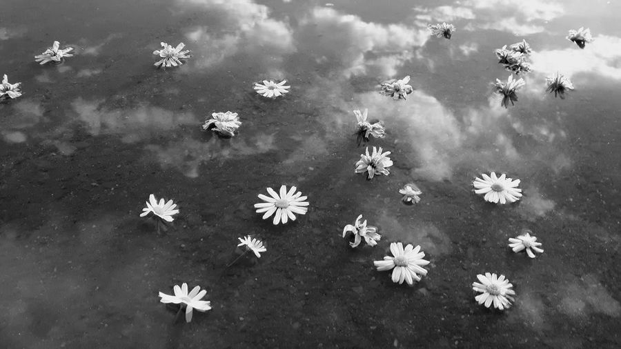 High angle view of daisy flowers floating on lake with reflection