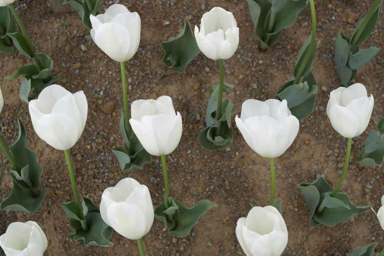 White tulips Background Beauty In Nature Close-up Flower Flower Head Fragility Freshness High Angle View Leaf Nature Outdoors Petal Plant Tulip White Color White Tulips