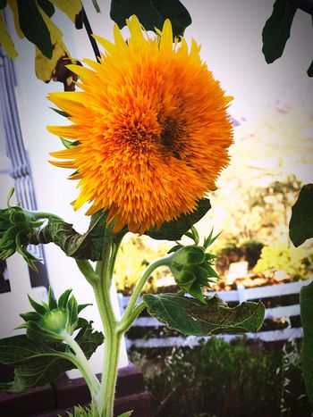 🌻🐝💕 we keep the population going one sunflower at a time Flower Plant Fragility Growth Nature Freshness Beauty In Nature Petal Flower Head Day Outdoors No People Close-up Blooming