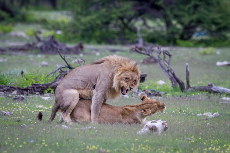 Lions mating on land