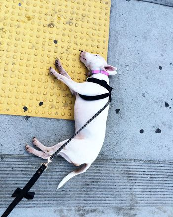 Animal Animal Behavior Animal Themes Bull Terrier Bullterrier Close-up Collar Dog Dogs Dogwalk Domestic Animals Full Length Harness High Angle View Leash No People One Animal Outdoors Pets Puppy Sidewalk Still Life Stubborn Tired White