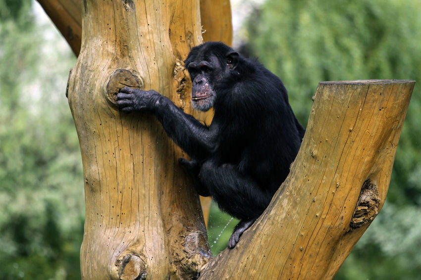 Animal Themes Animal Wildlife Animals In The Wild Branch Chimpanzee Close-up Day Gorilla Mammal Monkey Nature No People One Animal Outdoors Primate Tree Tree Trunk Wood - Material