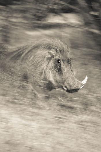Blurred motion of warthog on field